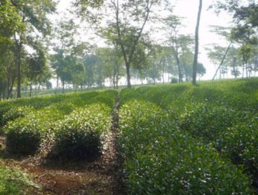 Dong Son Tea